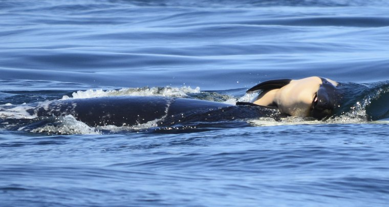 A dead baby orca whale is being pushed by her mother.