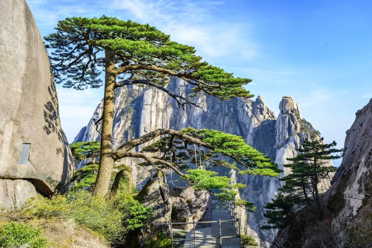 Image: The Greeting Pine is thought to be more than 1,000 years old