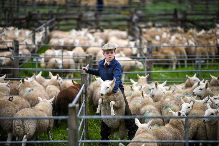Image: Largest One Day Sheep Sale Takes Place In Lairg