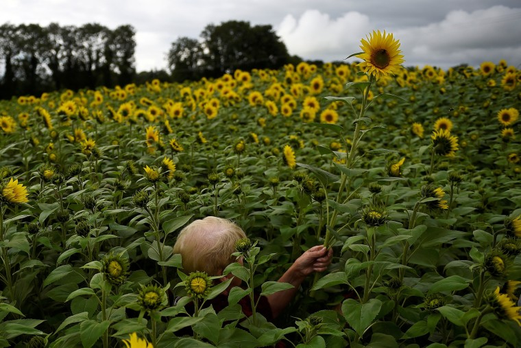 Image: A woman is concealed as she walks through a field of very tall sunflowers to cut some down in Ballygawley