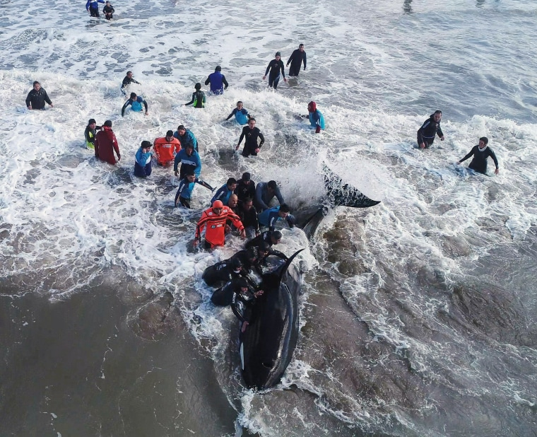 Image: A rescue team tries to move an Orca back to the sea in Mar del Plata