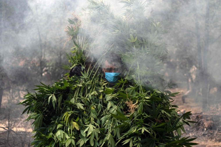 Image: Mexican soldiers destroy a marijuana plantation in Tecate, Baja California state, Mexico