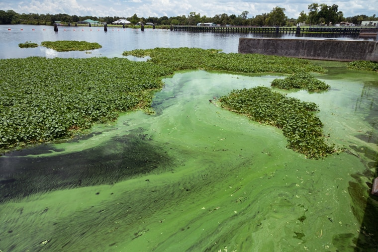 toxic algae seeps into florida s politics ahead of the primary