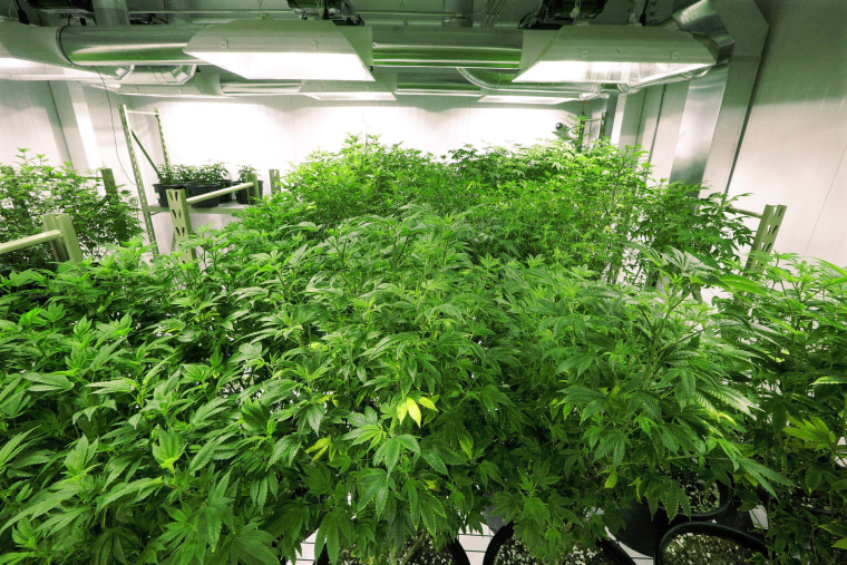 "Image: The ""mother"" marijuana plants are keep healthy inside the ""Mother Room"" at the Ataraxia medical marijuana cultivation center"