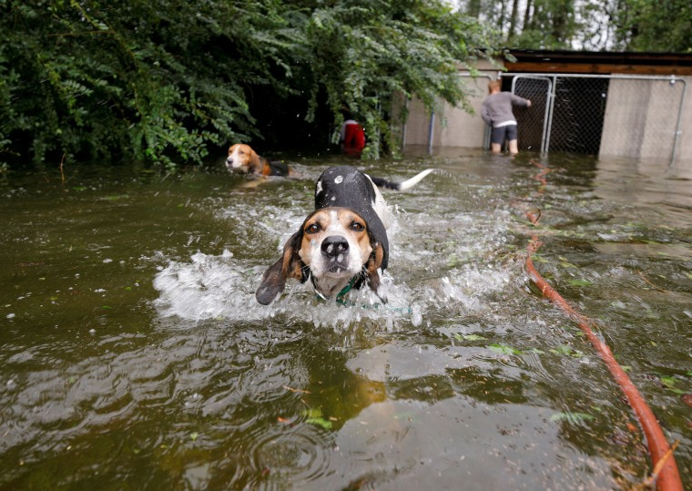 Image: Panicked dogs that were left caged by an owner who fled rising flood waters in the aftermath of Hurricane Florence, swim free after their release in Leland, North Carolina