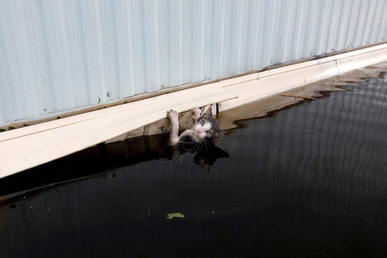 Image: A cat clings to the side of a trailer amidst flood waters before it was saved as the Northeast Cape Fear River breaks its banks in the aftermath Hurricane Florence in Burgaw