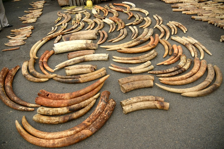 Tusks from an ivory seizure in 2015 in Singapore after they have been sorted into pairs by the process developed by Wasser and his team.