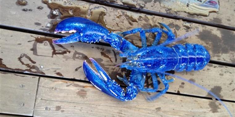 blue lobster, national lobster day 2018