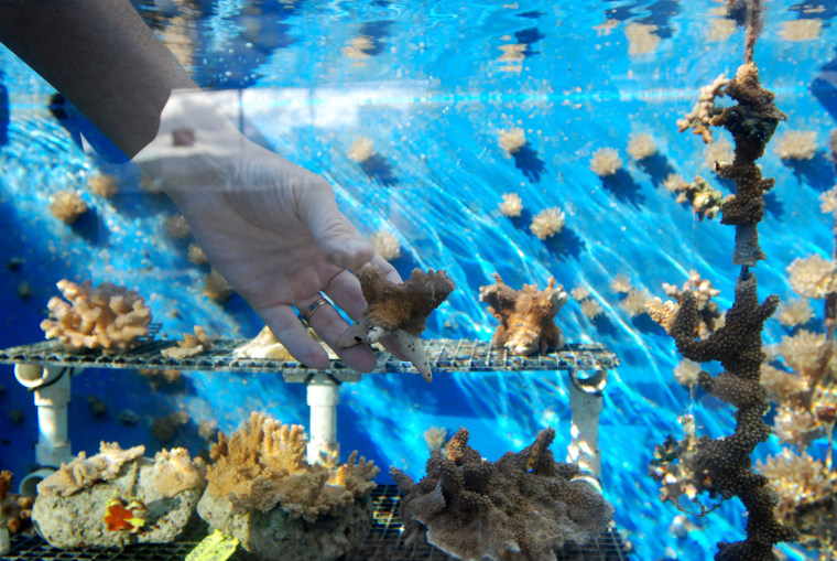 A coral recovery specialist with the state of Hawaii holds a piece of coral he and a team of scientists have been growing at the Anuenue Fisheries Research Center's coral nursery in Honolulu.