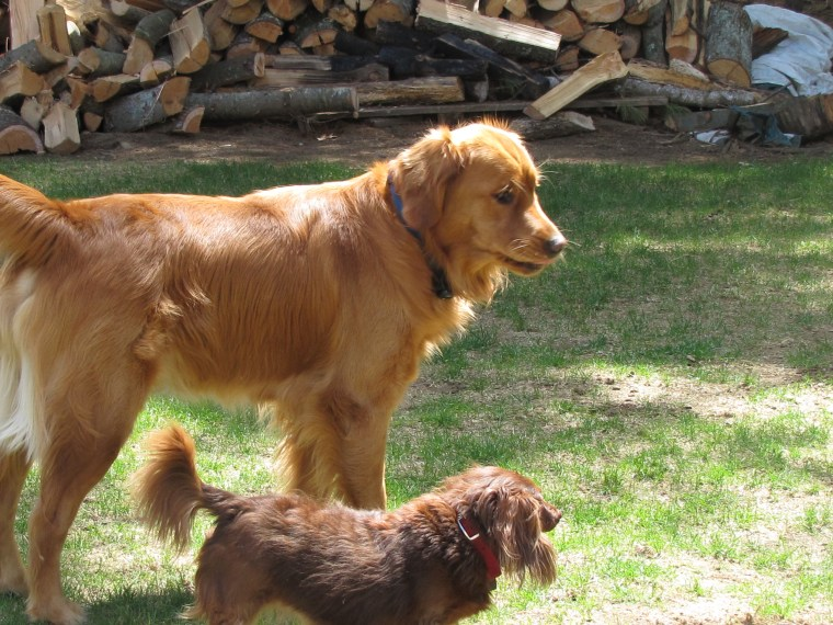 Lady and the family's golden retriever, Jake, love spending time together.