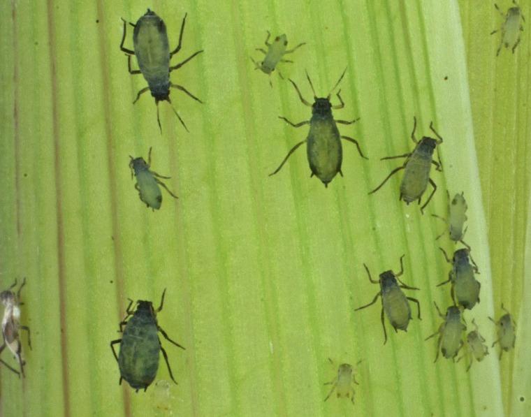 Image: Insect Biowarfare