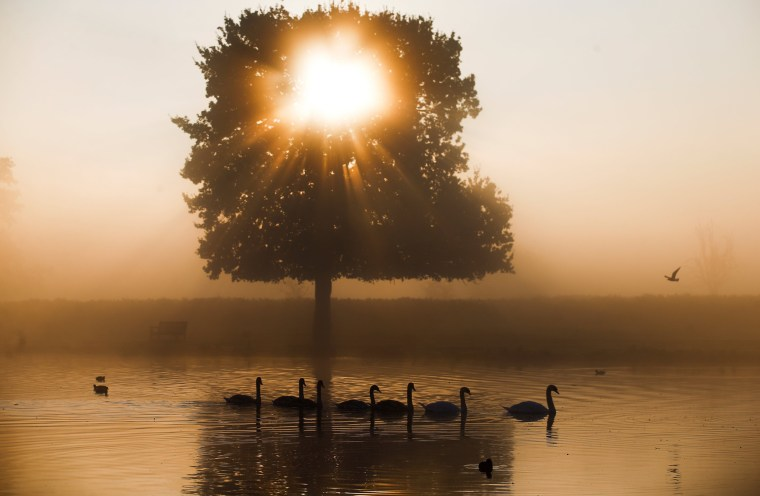 Swans swim in the early morning mist at Bushy Park in London