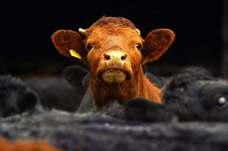 Image: Cows look out of a pen on a farm in the Scottish Borders