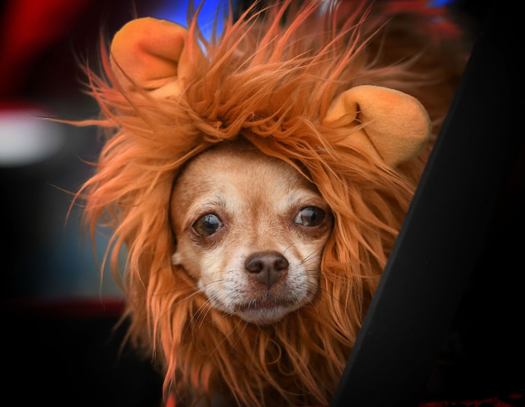 Image: Cute Dog Halloween Costume