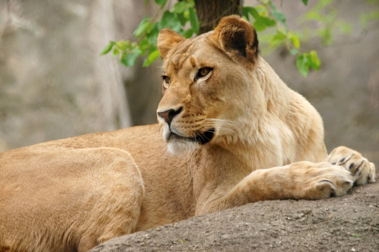 Image: The Indianapolis Zoo's lioness named Zuri