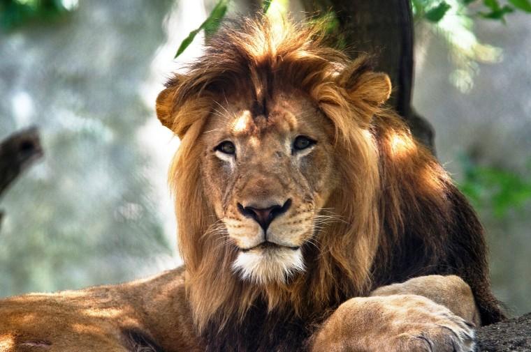 Image: Indianapolis Zoo adult male lion called Nyack.