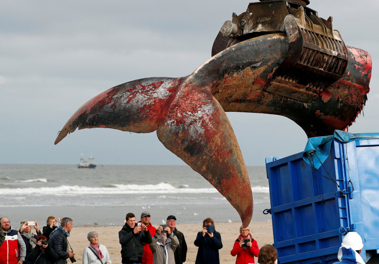Image: The tail of a stranded whale is pictured on the beach of De Haan