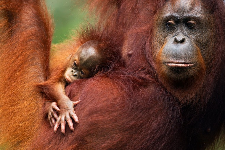 A Bornean orangutan and its baby.