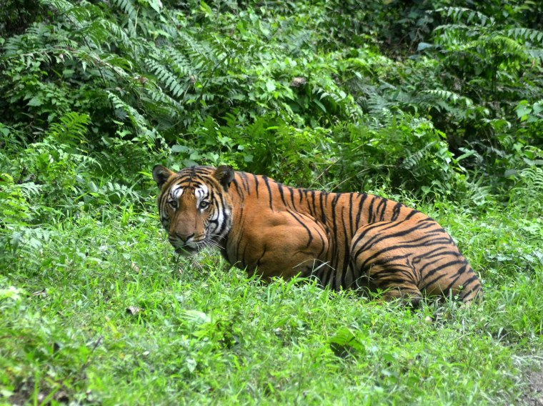 A Royal Bengal Tiger pauses as it walks through a jungle clearing in Kaziranga National Park