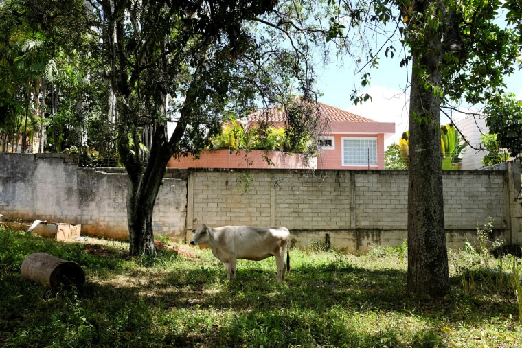 A cow in the backyard of an Apacuana commune house in Caracas, Venezuela, on Nov. 13, 2018.