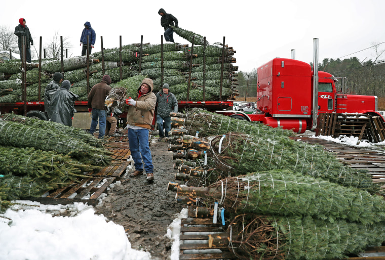 Daniel Caulfield makes his way through the mud to put down a tree on a wooden pallet as Christmas trees are unloaded at the Millbrook Farm in Concord, Massachusetts on Nov. 16, 2018.