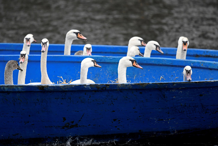 Image: Swans are seen in a boat after they were caught at Hamburg's inner city lake Alster by Olaf Niess and his team to bring them in their winter quarters in Hamburg