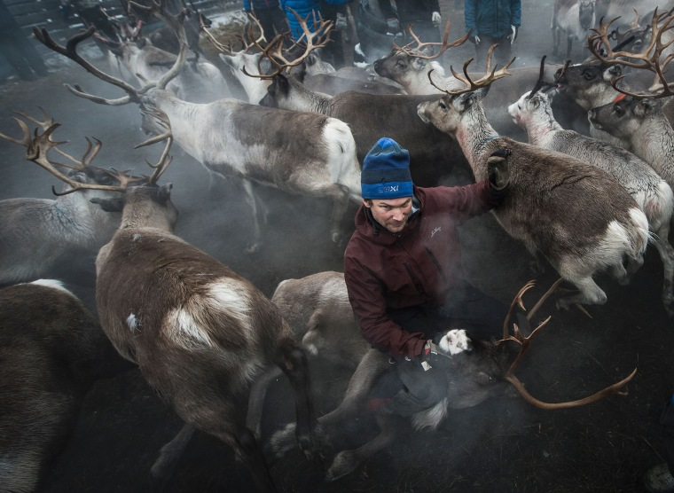 Image: A Sami man catches a reindeer near the village of Dikanaess, Sweden