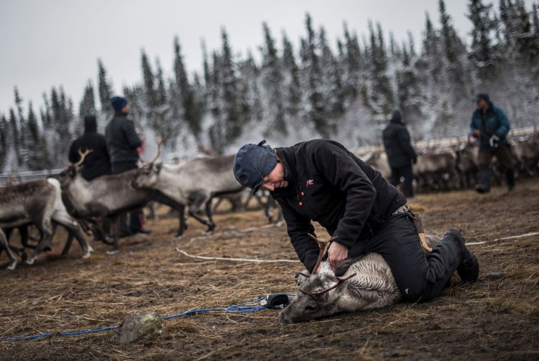 Image: A Sami man labels a reindeer calf near the village of Dikanaess, Sweden, in 2016