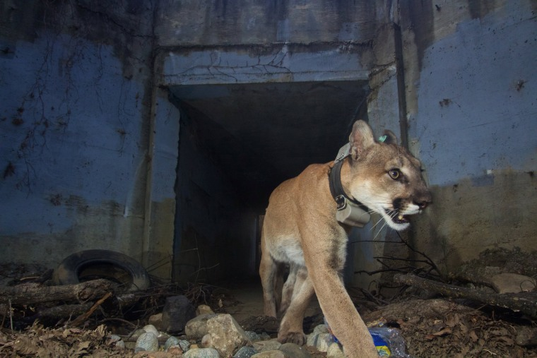 Image: A mountain lion, known as P-64, walks through a tunnel heading south near the Santa Monica Mountains in California on May 22, 2018.