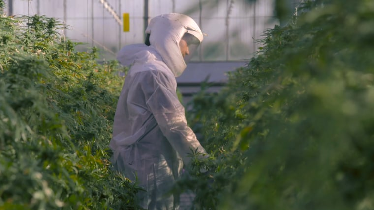 Image: Hemp being grown for seizure medicine.