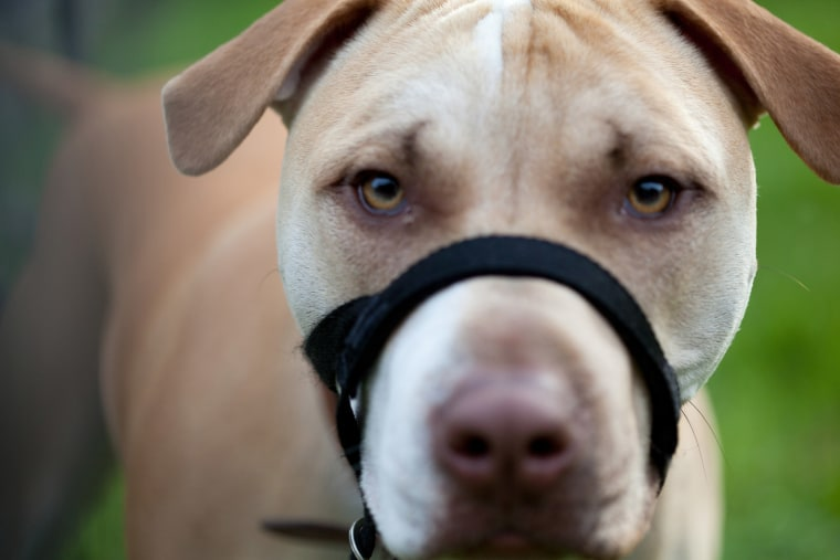 Image: An American dog wearing a muzzle