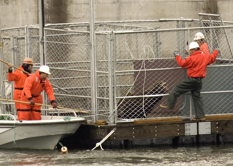 Image: Crews work to move a captured sea lion into another cage on the Columbia River in Bonneville, Washington, in 2008.