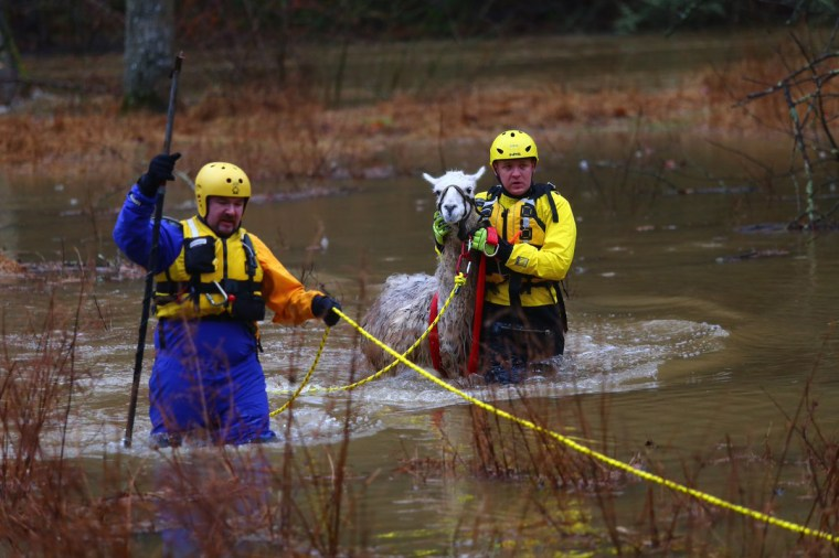Howard County Fire and Rescue bring a llama to safety after his pasture was flooded overnight by the Patuxent River in Mink Hollow, Virginia,