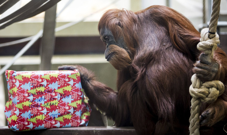 Image: Carolin, an orangutan, looks at a Christmas present at the Wilhelma Zoo in Stuttgart, Germany, on Dec. 25.