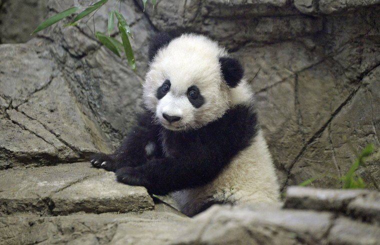 Image: USA-CHINA-ANIMAL-PANDA-ZOO-TOURISM