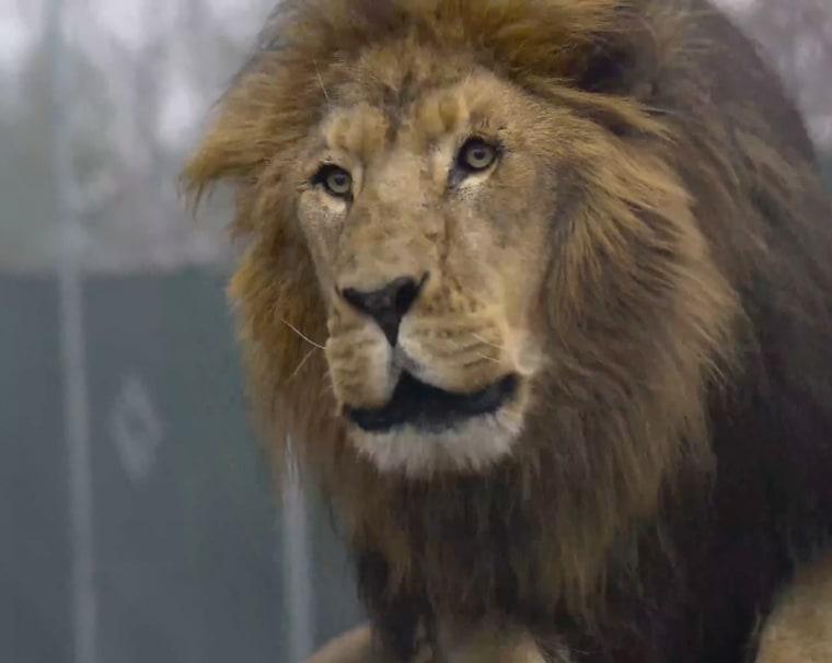 Image: Lion Matthaias