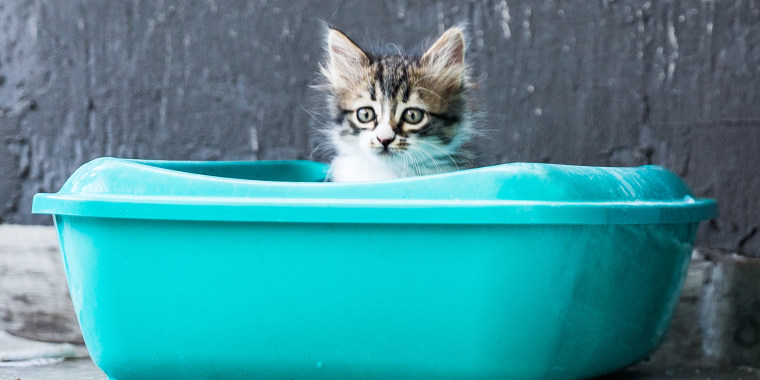 Little Siberian Breed Cat Sitting in Litter Box
