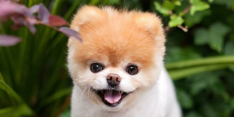 Boo, dubbed the world's cutest dog