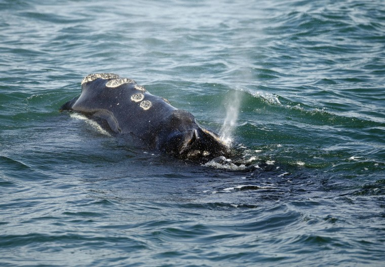 A North Atlantic right whale feeds on the surface of Cape Cod bay off the coast of Plymouth, Massachusetts on March 28, 2018.