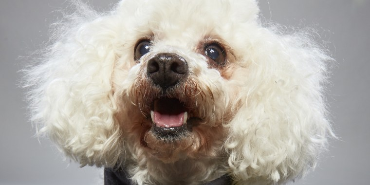 """Once abandoned for being """"too old,"""" Karlie the dog is loving life and finding fame in the """"Dog Bowl II"""" special on Animal Planet."""
