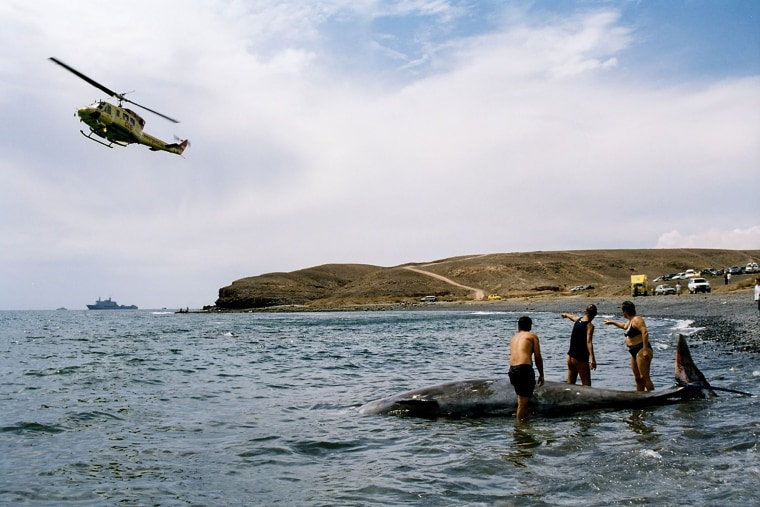 Image: Researchers attempt to rescue a stranded whale off the island of Fuerteventura near the Canary Islands in 2002.