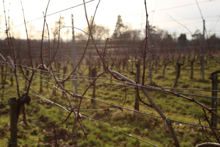 Image: Plumpton College's vineyard in Scaynes Hill, England