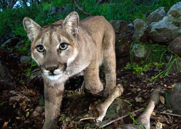 A mountain lion in a 2015 National Park Service photo.