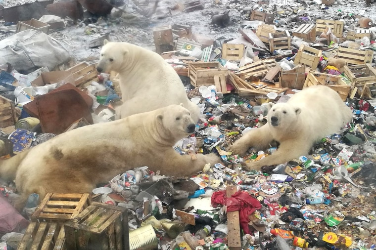 Polar bears rummage around the Russian arctic archipelago Novaya Zemlya on Oct. 31, 2018.