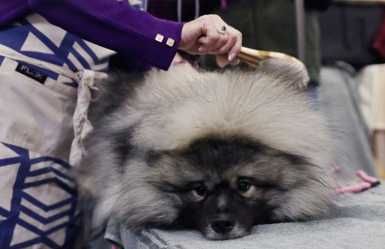 Image: Couvee, an Keeshond breed, is groomed during the 143rd Westminster Kennel Club Dog Show in New York