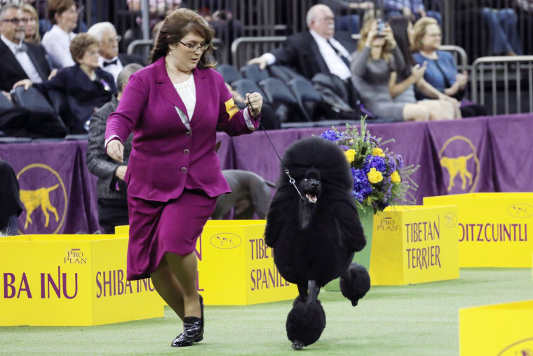 Image: A Standard Poodle and trainer compete during the Herding group judging at the 143rd Westminster Kennel Club Dog show at Madison Square Garden in New York