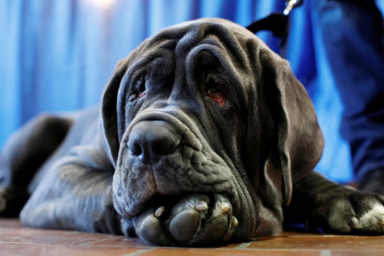 Image: Romeo, the Neapolitan Mastiff, rests during the AKC Meet the Breeds event ahead of the 143rd Westminster Kennel Club Dog Show in New York