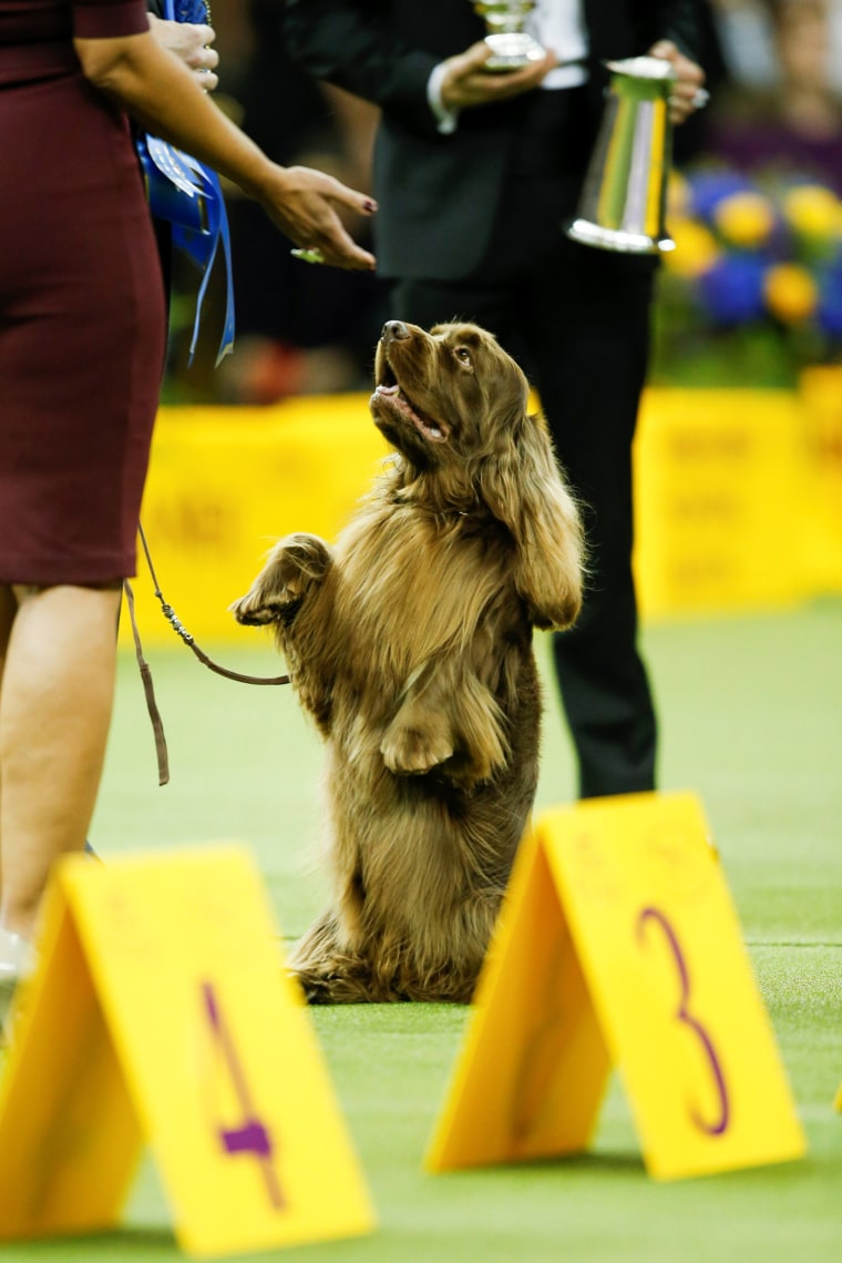 Image: A Spaniel Sussex dog is pictured after it won the Sporting group at the 143rd Westminster Kennel Club Dog Show in New York