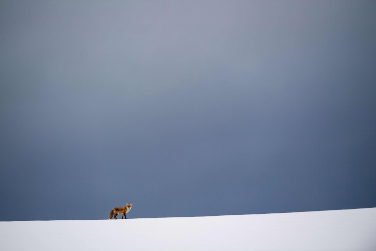 Image: TOPSHOT-GERMANY-WEATHER-ANIMAL-FOX-FEATURE