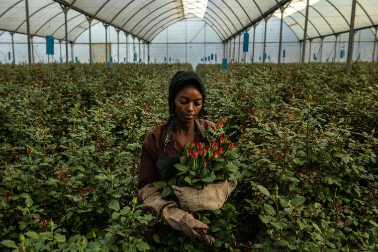 Image: Flower Farming In Kenya, Worlds Fourth-Largest Cut-Flower Exporter